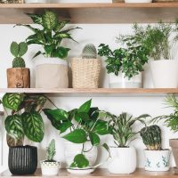 Stylish wooden shelves with green plants and black watering can. Modern room decor. Cactus, dieffenbachia, asparagus, epipremnum, calathea,dracaena,ivy, palm,sansevieria in pots on shelf (Stylish wooden shelves with green plants and black watering can